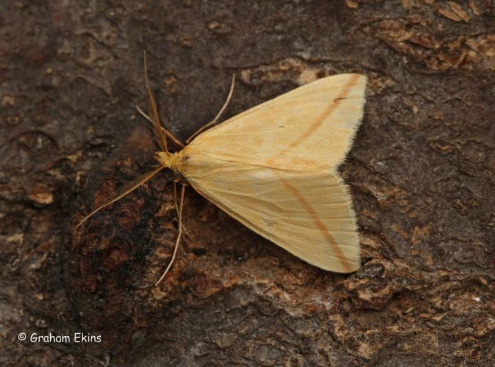 Rhodometra sacraria  Vestal 2 Copyright: Graham Ekins