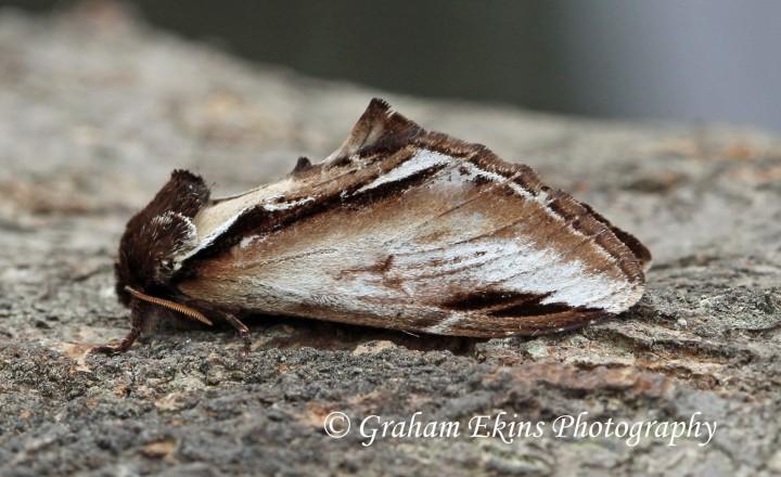 Pheosia gnoma  Lesser Swallow Prominent Copyright: Graham Ekins
