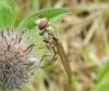 Platycheirus manicatus female on clover Copyright: Roger Payne
