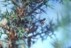 Linyphia triangularis Copyright: Peter Harvey