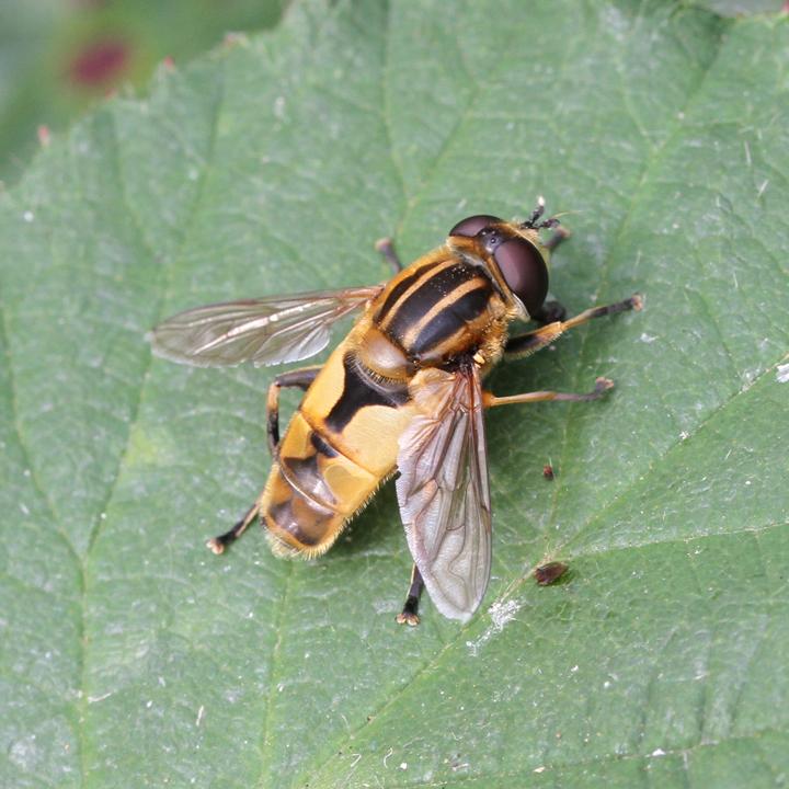 Helophilus hybridus male Copyright: Geoff Vowles