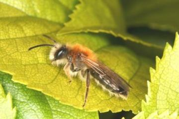Andrena nitida Copyright: Peter Harvey