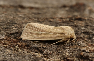 Smoky Wainscot  Mythimna impura Copyright: Graham Ekins