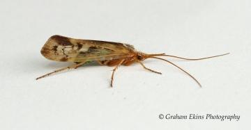 Limnephilus marmoratus Copyright: Graham Ekins