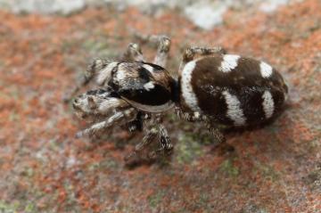Female zebra spider Copyright: Maria Fremlin
