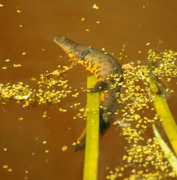 Great Crested Newt - Female - 30th April 2013 Copyright: Ian Rowing