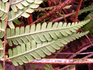 Scaly Male Fern - leaf Copyright: Graham Smith