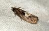 Epinotia brunnichana Copyright: Ben Sale