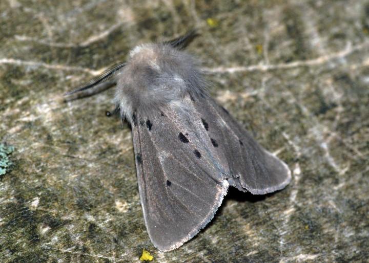 Muslin Moth 2 Copyright: Ben Sale