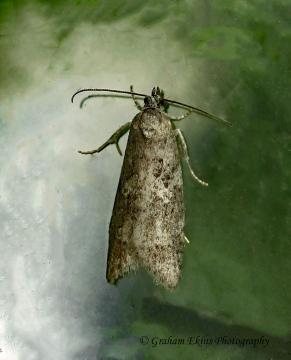 Cnephasia communana 4  GD Copyright: Graham Ekins