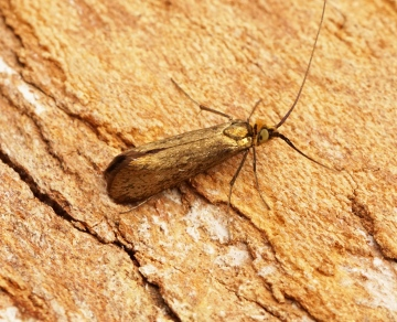 Nemophora metallica Copyright: Ben Sale