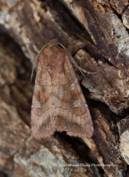 Splendid Brocade  Lacanobia splendens Copyright: Graham Ekins