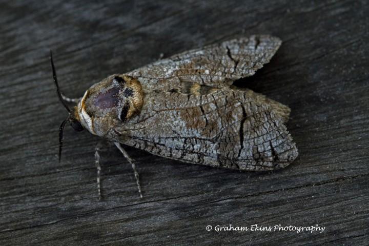 Goat Moth  Cossus cossus Copyright: Graham Ekins