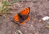 Small Copper Copyright: Ben Sale