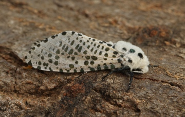 Leopard Moth 5 Copyright: Graham Ekins