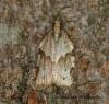 Clepsis spectrana 4 Copyright: Graham Ekins