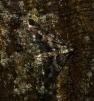 Agriopis leucophaearia (Spring Usher) 3 Copyright: Ben Sale (2010)