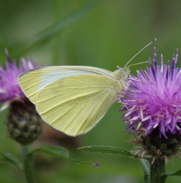 Small White (summer form) Copyright: Robert Smith