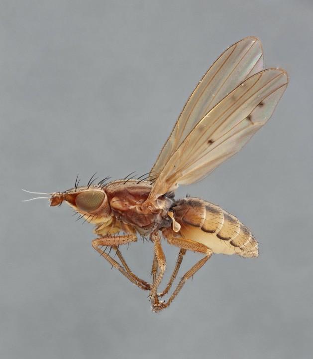 Trigonometopus frontalis female lateral Copyright: Jeremy Richardson