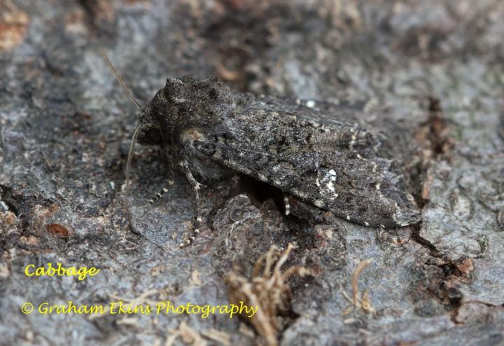 Cabbage Moth  Mamestra brassicae Copyright: Graham Ekins