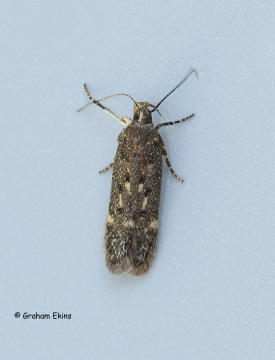 Bryotropha affinis 3 Copyright: Graham Ekins