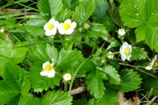 Wild Sstrawberry Copyright: Peter Pearson