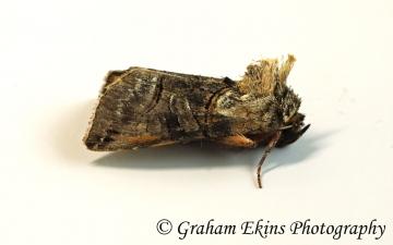 Abrostola triplasia   Dark Spectacle Copyright: Graham Ekins