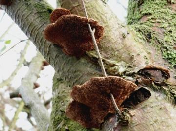 Daedaleopsis confragosa Copyright: Graham Smith