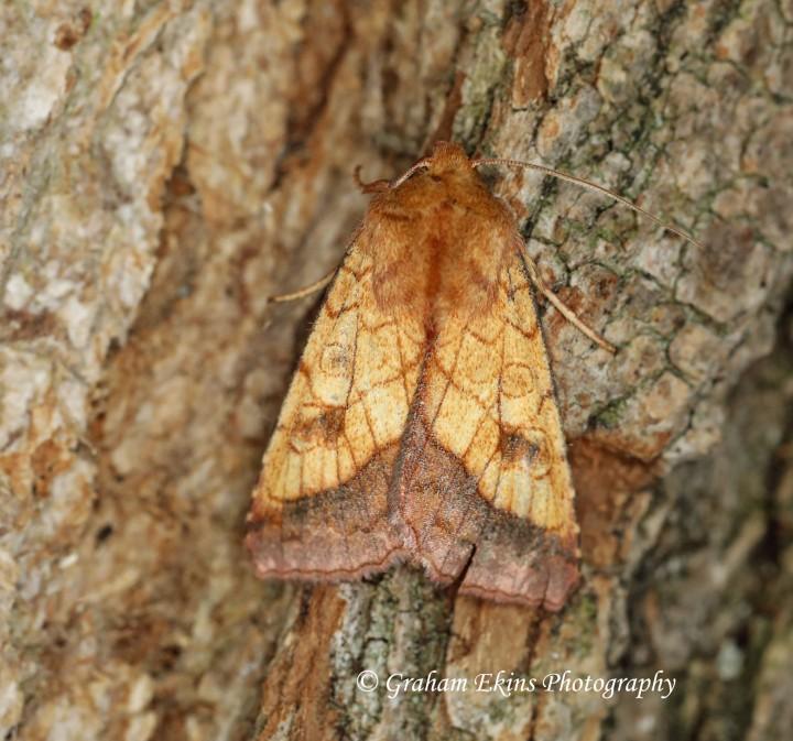 Bordered sallow  (Pyrrhia umbra) 1 Copyright: Graham Ekins