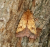 Bordered sallow  (Pyrrhia umbra) 1 Copyright: Graham Ekins