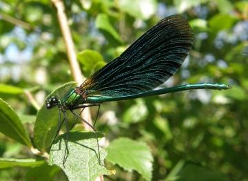 Beautiful demoiselle male Copyright: Sue Grayston