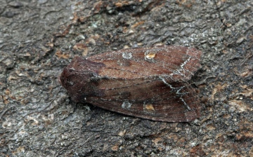 Bright-line Brown-eye  Lacanobia oleracea   2 Copyright: Graham Ekins