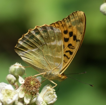 Silver-washed Fritillary (underside) Copyright: Robert Smith