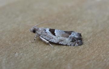 Epinotia ramella 2 Copyright: Stephen Rolls