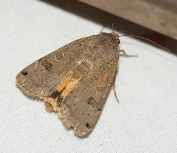 Lunar Yellow Underwing 01 Copyright: Robert Smith