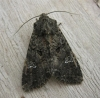 Cabbage Moth. Copyright: Stephen Rolls