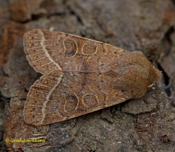 Common Quaker  Orthosia cerasi Copyright: Graham Ekins