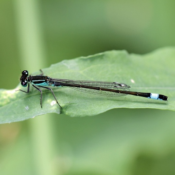 Blue-tailed Damselfly Copyright: Geoff Vowles