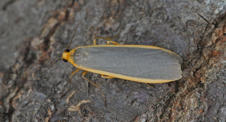 Common Footman Eilema lurideola 2 Copyright: Graham Ekins