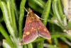 Pyrausta purpuralis Copyright: Peter Harvey