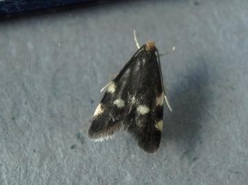 Telechrysis tripuncta Copyright: Norman Hunter