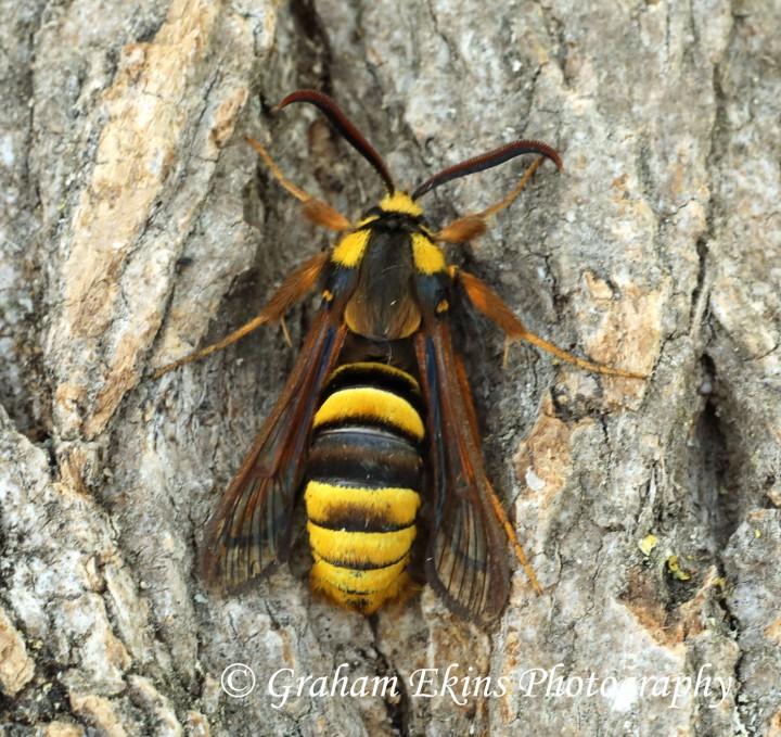 Sesia apiformis  Hornet Moth 3 Copyright: Graham Ekins