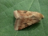 Bordered Straw  Heliothis peltigera   1 Copyright: Graham Ekins