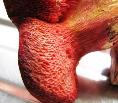 Rubinoboletus rubinus - decurrent pores Copyright: Graham Smith