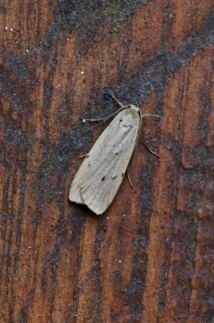 Dotted Footman Copyright: Simon Wood