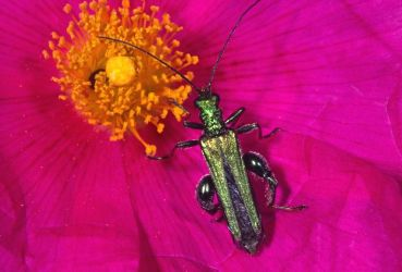 Oedemera nobilis Copyright: Peter Harvey