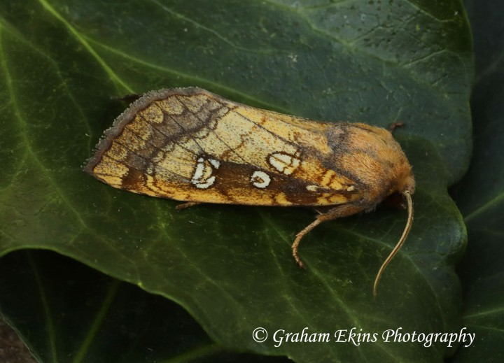Gortyna borelii   Fisher's Estuarine Moth Copyright: Graham Ekins
