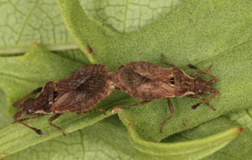 Spathocera dalmanii pair Copyright: Peter Harvey