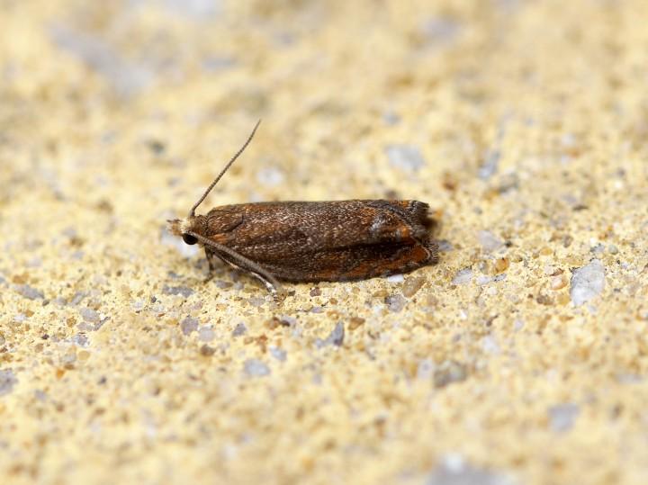Epinotia abbreviana 5 Copyright: Ben Sale