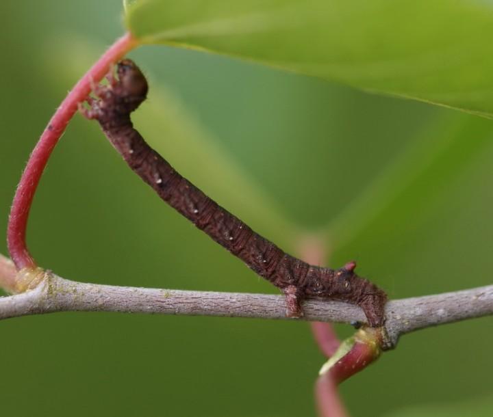 C pennaria larvae Copyright: Robert Smith